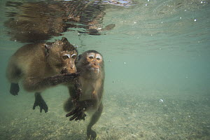 Long-tailed Macaque (Macaca fascicularis) pair looking underwater for food thrown by people, Thailand - Cyril Ruoso