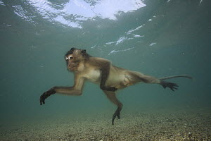 Long-tailed Macaque (Macaca fascicularis) looking underwater for food thrown by people, Thailand - Cyril Ruoso