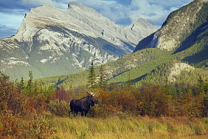 Moose (Alces alces) bull in tundra, Mount Rundle, Banff National Park, Alberta, Canada - Chase Dekker