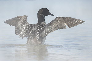 Common Loon (Gavia immer) spreading wings, Monterey Bay, California  -  Chase Dekker