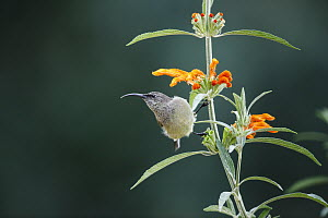 Greater Double-collared Sunbird (Nectarinia afra) female, Garden Route National Park, South Africa - Richard Du Toit