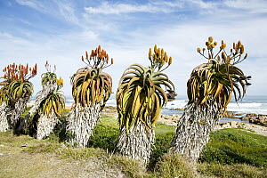 Aloe (Aloe sp) plants, Garden Route National Park, South Africa - Richard Du Toit