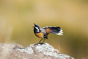 Orange-breasted Rockjumper (Chaetops aurantius) male displaying, Naude's Nek Pass, South Africa - Richard Du Toit