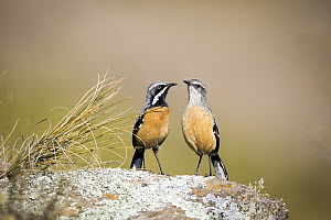 Orange-breasted Rockjumper (Chaetops aurantius) male and female, Naude's Nek Pass, South Africa - Richard Du Toit