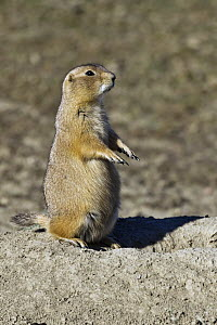 Black-tailed Prairie Dog (Cynomys ludovicianus) on alert, Theodore Roosevelt National Park, North Dakota  -  Yva Momatiuk & John Eastcott