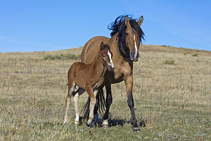Mustang (Equus caballus) mother and foal, Oshoto, Wyoming - Yva Momatiuk & John Eastcott