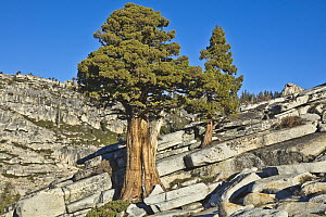 Jeffrey Pine (Pinus jeffreyi) trees and granite, Olmsted Point, Yosemite National Park, California - Yva Momatiuk & John Eastcott