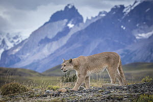 Mountain Lion (Puma concolor) and mountains, Cordillera Paine, Torres del Paine National Park, Chile  -  Benjamin Olson