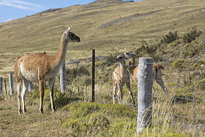 Guanaco (Lama guanicoe) mother looking at crias stuck behind ranch fence, Torres del Paine National Park, Chile - Benjamin Olson