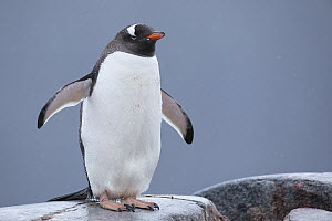 Gentoo Penguin (Pygoscelis papua) wet from rain due to climate change, Antarctica  -  Benjamin Olson