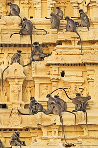 Hanuman Langur (Semnopithecus entellus) group on temple, Virupaksha Temple, Hampi, Karnataka, India - Fiona Rogers