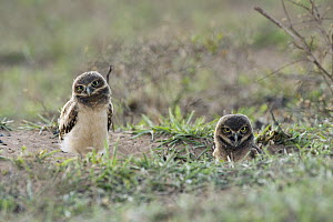Burrowing Owl (Athene cunicularia) juveniles at burrow, South America  -  Murray Cooper