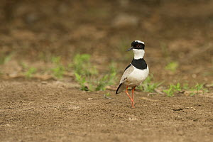 Pied Lapwing (Vanellus cayanus), South America  -  Murray Cooper