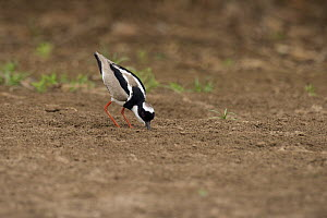 Pied Lapwing (Vanellus cayanus) foraging, South America  -  Murray Cooper