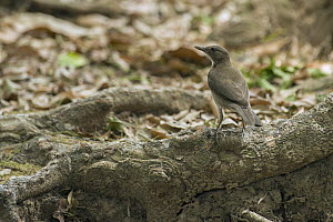 Pale-breasted Thrush (Turdus leucomelas), South America - Murray Cooper