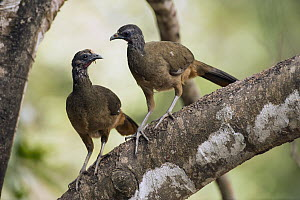 Speckled Chachalaca (Ortalis guttata) pair, South America  -  Murray Cooper