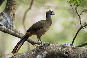 Speckled Chachalaca (Ortalis guttata), South America - Murray Cooper