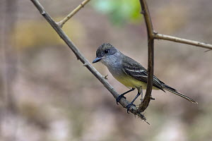 Short-crested Flycatcher (Myiarchus ferox), South America - Murray Cooper