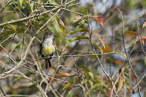 Dusky-capped Flycatcher (Myiarchus tuberculifer), South America - Murray Cooper