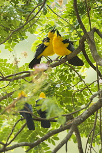 Oriole Blackbird (Gymnomystax mexicanus) pairs courting, South America - Murray Cooper