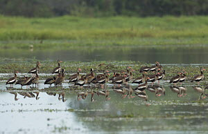 Black-bellied Whistling Duck (Dendrocygna autumnalis) and White-faced Whistling-Duck (Dendrocygna viduata) flock in wetland, Colombia  -  Murray Cooper