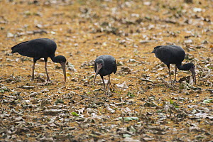 Whispering Ibis (Phimosus infuscatus) trio foraging, South America - Murray Cooper