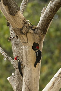 Lineated Woodpecker (Dryocopus lineatus) pair at nest cavity, South America - Murray Cooper