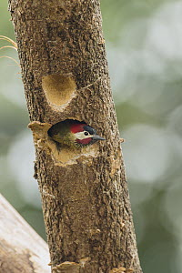 Spot-breasted Woodpecker (Colaptes punctigula) emerging from nest cavity, South America  -  Murray Cooper