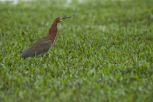 Rufescent Tiger-Heron (Tigrisoma lineatum), South America  -  Murray Cooper