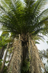 Tagua Palm (Phytelephas macrocarpa), South America - Murray Cooper