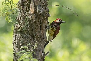 Crimson-mantled Woodpecker (Colaptes rivolii), South America  -  Murray Cooper