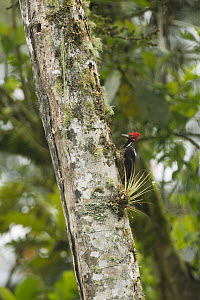 Guayaquil Woodpecker (Campephilus gayaquilensis), South America  -  Murray Cooper