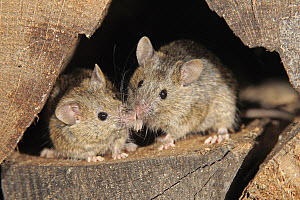 House Mouse (Mus musculus) pair smelling each other, Ellerstadt, Rhineland-Palatinate, Germany - Juergen & Christine Sohns
