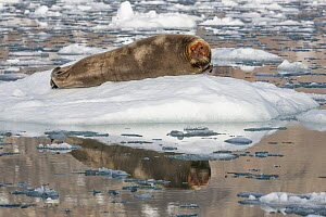 Bearded Seal (Erignathus barbatus) on ice floe with head dyed from high iron content in prey, Svalbard, Norway - Heike Odermatt