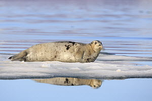 Bearded Seal (Erignathus barbatus) on ice floe, Svalbard, Norway - Heike Odermatt