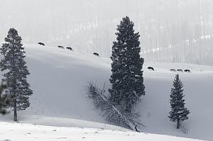 Gray Wolf (Canis lupus) pack on ridge in winter, Lamar Valley, Yellowstone National Park, Wyoming  -  Daniel J. Cox