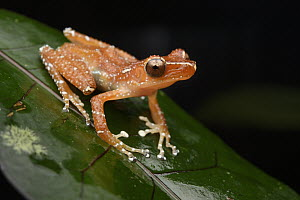 Painted Indonesian Treefrog (Nyctixalus pictus), Lundu, Sarawak, Malaysia - Chien Lee