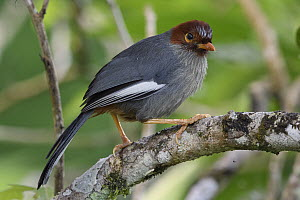 Chestnut-capped Laughingthrush (Garrulax mitratus), Kinabalu National Park, Sabah, Malaysia  -  Chien Lee