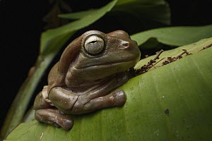 White's Tree Frog (Litoria caerulea) brown form, Wasur National Park, Papua, Indonesia  -  Chien Lee
