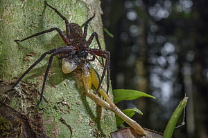 Giant Crab Spider (Sparassidae) feeding on tree frog prey, Digul River, Papua, Indonesia  -  Chien Lee