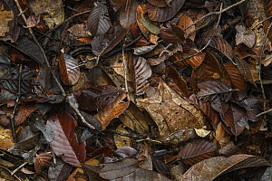 Asian Horned Frog (Megophrys nasuta) female and Matang Narrow-mouthed Frog (Microhyla nepenthicola) camouflaged in leaf litter, Kubah National Park, Sarawak, Malaysia  -  Chien Lee