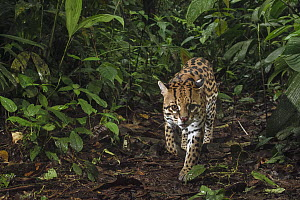 Ocelot (Leopardus pardalis) male in cloud forest, Mashpi Amagusa Reserve, Pichincha, Ecuador  -  Chien Lee