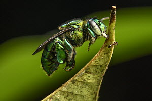 Orchid Bee (Euglossa sp) sleeping by biting leaf, Utria National Park, Colombia - Chien Lee