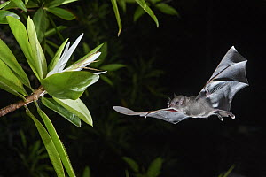 Pallas' Long-tongued Bat (Glossophaga soricina) approaching Tea Mangrove (Pelliciera rhizophorae) flower at night, Utria National Park, Colombia  -  Chien Lee