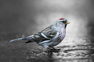 Common Redpoll (Carduelis flammea) at hole in ice to drink, Netherlands  -  Walter Soestbergen/ BIA