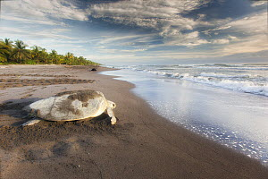 Olive Ridley Sea Turtle (Lepidochelys olivacea) female returning to sea after laying eggs, Ostional Beach, Costa Rica  -  Greg Basco/ BIA