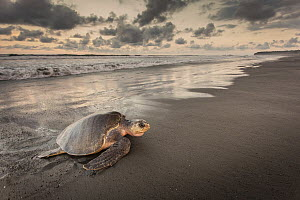 Olive Ridley Sea Turtle (Lepidochelys olivacea) female coming ashore to lay eggs, Ostional Beach, Costa Rica - Greg Basco/ BIA
