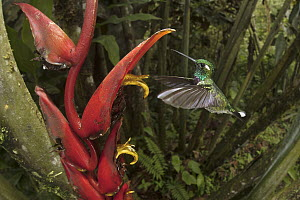 Purple-bibbed Whitetip (Urosticte benjamini) hummingbird feeding on Heliconia (Heliconia sp) flower nectar, Ecuador - Greg Basco/ BIA
