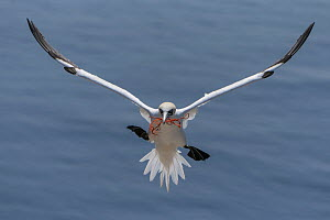 Northern Gannet (Morus bassanus) flying with rope for nesting, Schleswig-Holstein, Germany  -  Janine Brauneis/ BIA