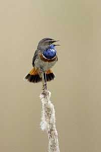 White-spotted Bluethroat (Luscinia svecica cyanecula) male calling, North Holland, Netherlands  -  Walter Soestbergen/ BIA